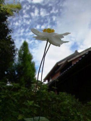 20131021 秋明菊.JPG