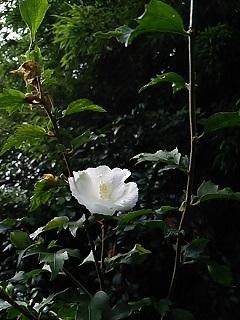 20140818 木槿.JPG