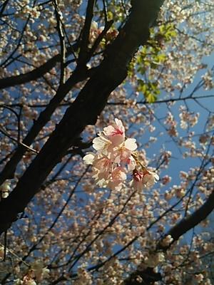 20160317 桜@井の頭公園2.JPG