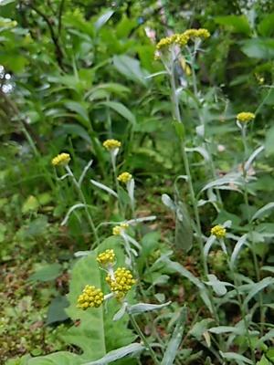20160503 三渓園29黄色い花.JPG