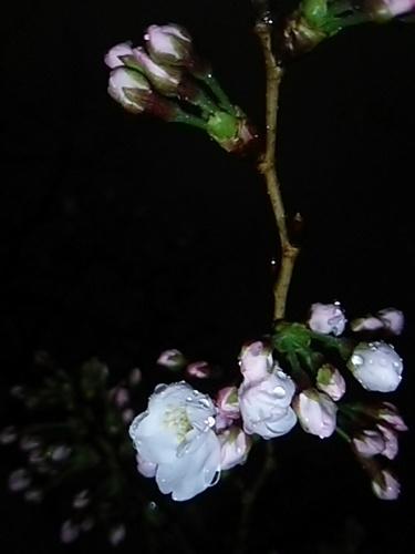 20170331 夜桜@六本木ヒルズ2.JPG