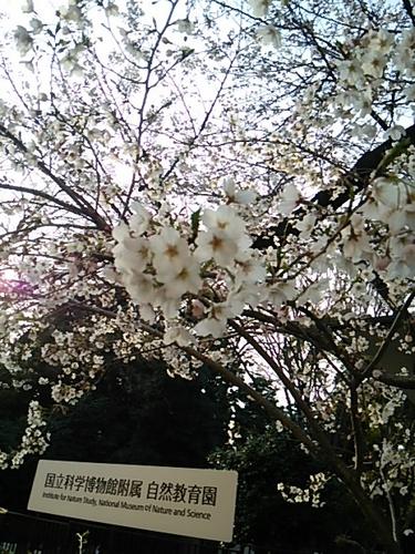 20170402 桜三分咲き@白金台1.JPG