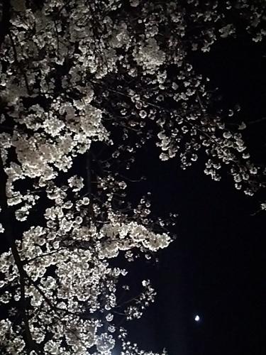 20170402 桜三分咲き@白金台2.JPG