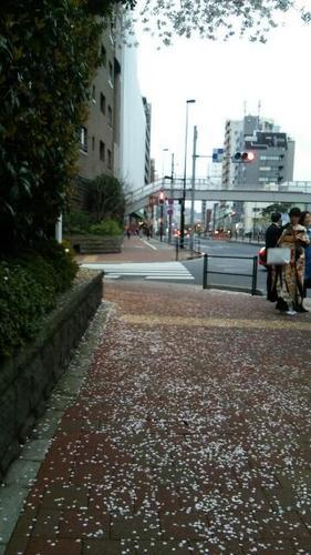 20170408 白金台の桜散り初め.jpg