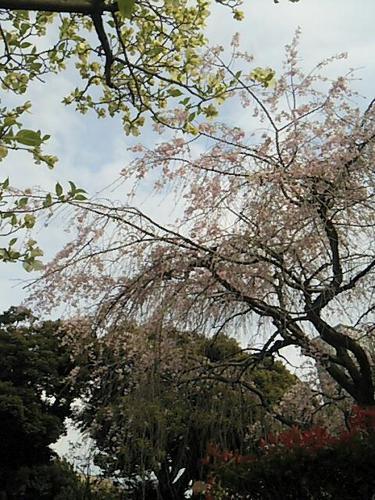20170415 枝垂桜&ハナミズキ.jpg
