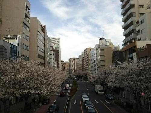 20180324 明治通り渋谷橋の桜.jpg