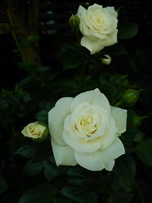 20140503 花めぐり3白バラ.JPG