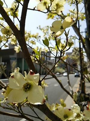 20150418 花水木.JPG