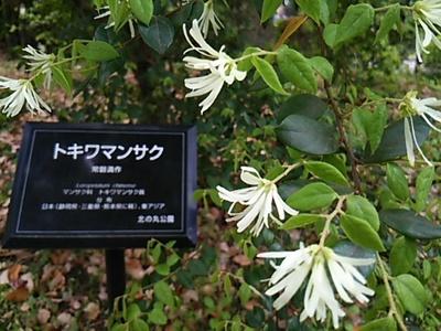 20160423 北の丸公園2トキワマンサク.JPG