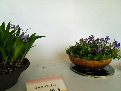 20160430 山野草展6イリスクリスタータ&コバノタツナミ.JPG