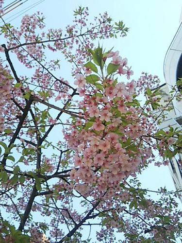 20170226 早咲き桜@麻布十番.jpg