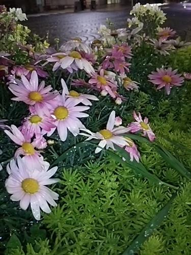 20170331 春の花@麻布十番.JPG