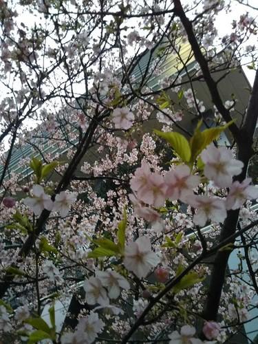 20180225 河津桜@京橋.jpg