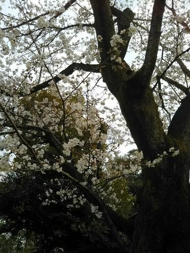 20180324 根津美術館の桜2.jpg