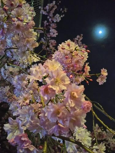 20180327 スペイン坂の夜桜1.jpg