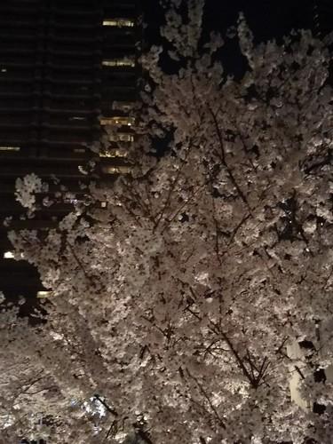 20180327 スペイン坂の夜桜3.jpg