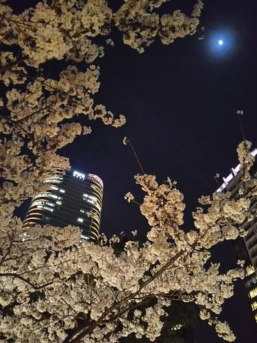 20180327 泉通りの夜桜3.jpg
