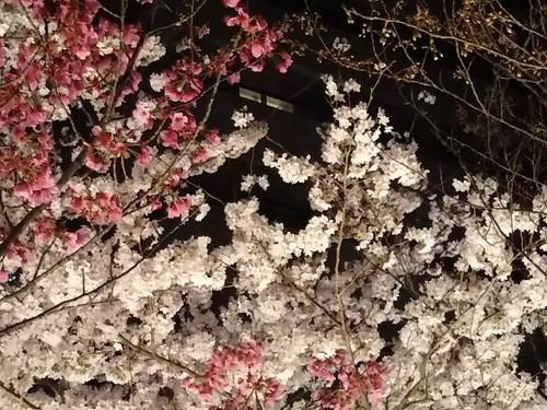 20180327 泉通りの夜桜5.jpg