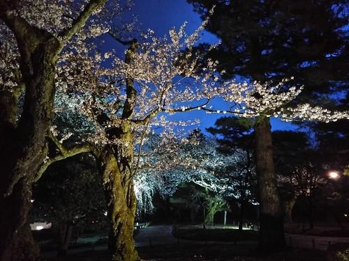 20180407 桜16兼六園老木.jpg