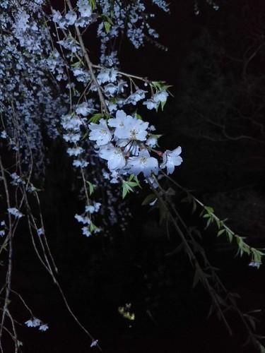 20180407 桜17兼六園枝垂れ桜.jpg