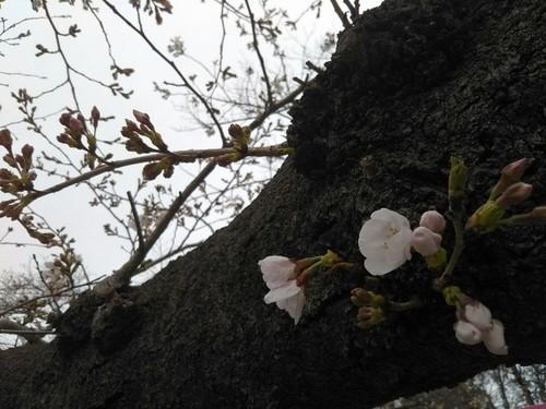 20190323 桜@上野公園4.jpg