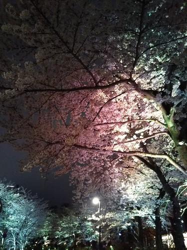 20190329 桜ライトアップ@東京ミッドタウン4.jpg