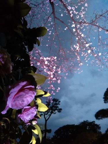 20190331 桜ライトアップ@八芳園1.jpg