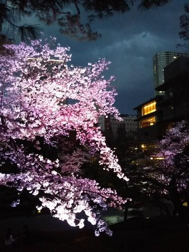 20190331 桜ライトアップ@八芳園2.jpg