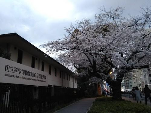 20190331 桜老木@国立科学博物館自然教育園.jpg