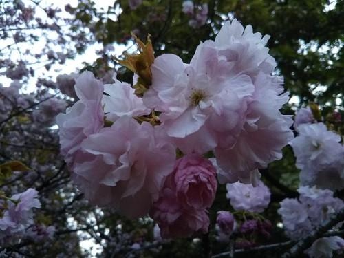 20190413 北の丸公園の桜2ヤエベニトラノオ.jpg