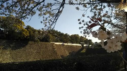 20190413 皇居東御苑の桜.jpg
