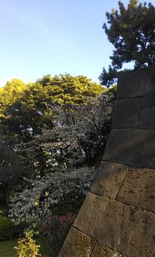 20190413 皇居東御苑の桜2.jpg