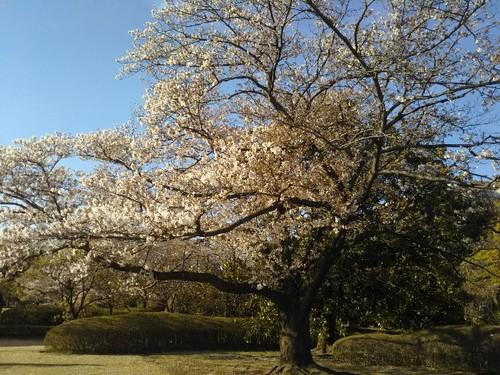 20190413 皇居東御苑の桜5ソメイヨシノ1.jpg
