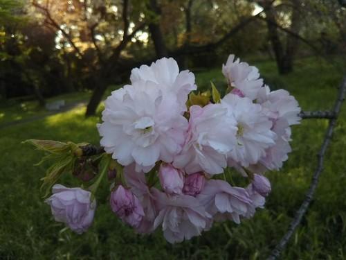 20190413 皇居東御苑の桜6アズマニシキ.jpg
